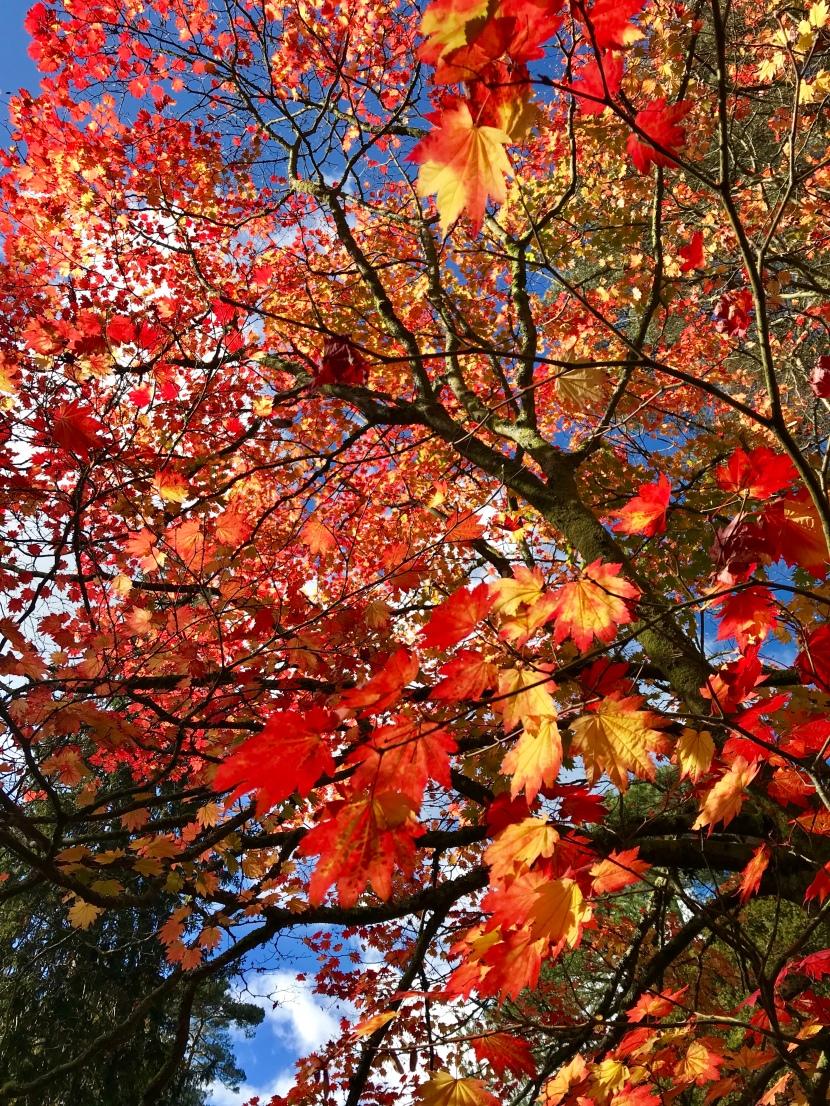#MyGloriousGardens Westonbirt Arboretum inAutumn.